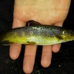 Little brown trout 150x150 - Driftless Fishers - Home