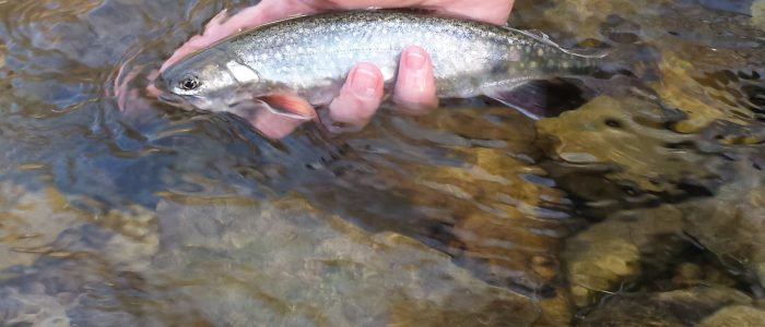 Brook Trout on Pine Spring Creek 700x300 - Photo Gallery - Driftless Fishers