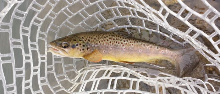 cropped browntroutinnet 700x300 - Photo Gallery - Driftless Fishers