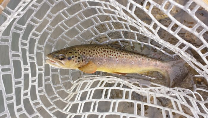 cropped browntroutinnet 700x400 - Driftless Fishers Photo Gallery