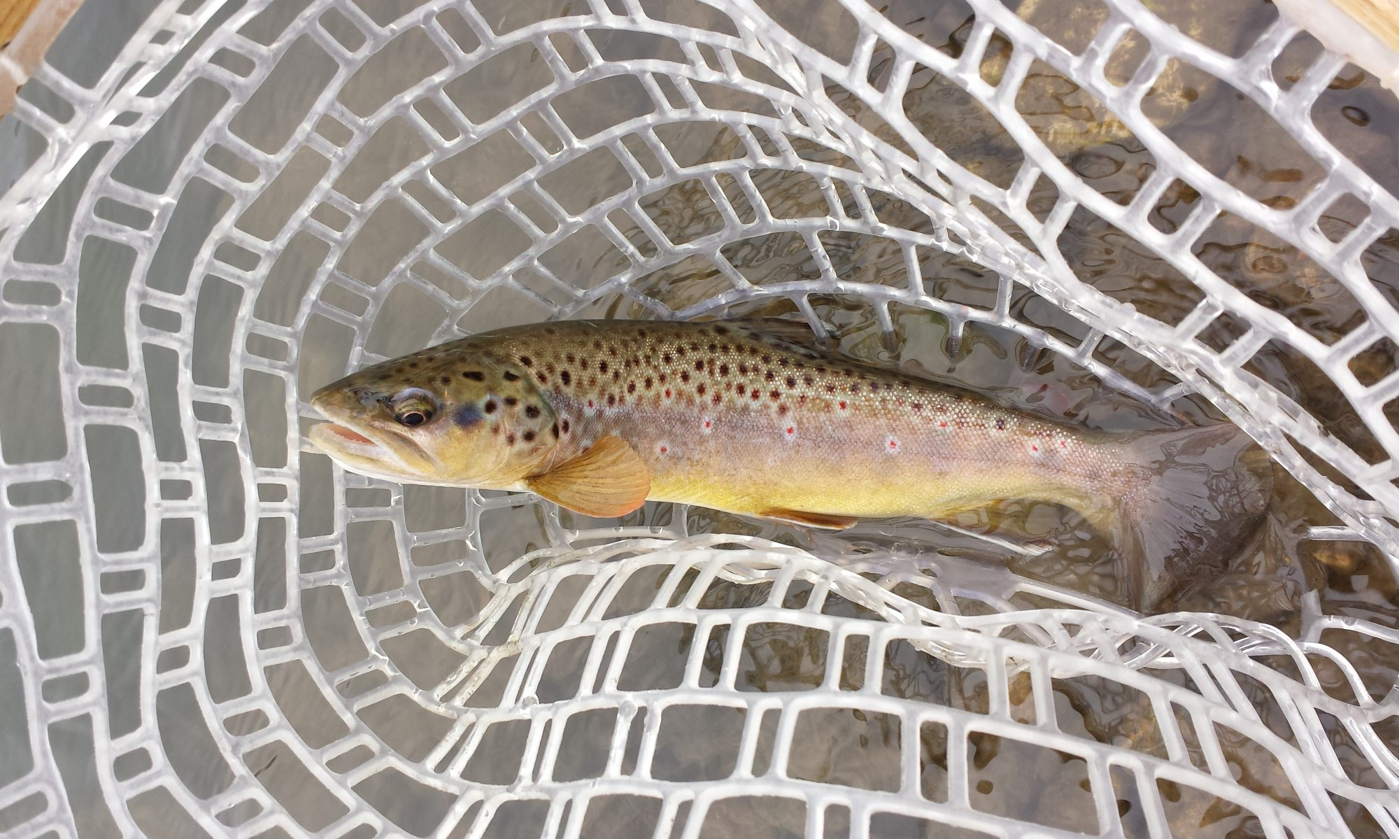 cropped browntroutinnet - Photo Gallery - Driftless Fishers