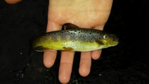 Little brown trout 300x169 - Home